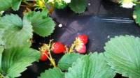 巧克力草莓采摘园