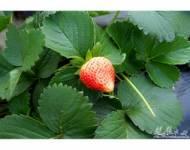古港草莓園