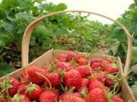 引镇草莓采摘园