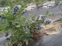 蓝艺园蓝莓种植专业合作社